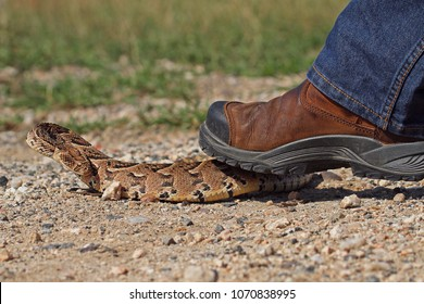 Person stepping on a puff adder and almost getting bitten.