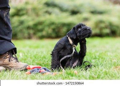 person trains with a standard schnauzer puppy on a dog training field