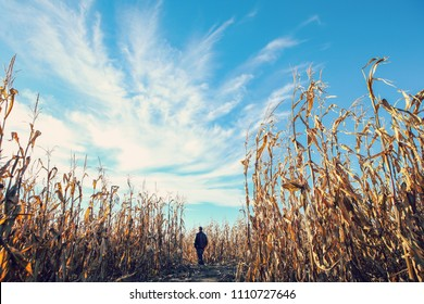 Person walking among the dried corn stalks in a corn maze