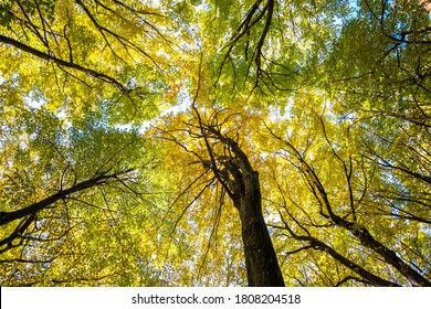 Perspective from down to up view of autumn forest with bright orange and yellow leaves. Dense woods with thick canopies in sunny fall weather.