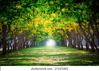 perspective land scape of Cassia fistula, beautiful yellow blooming flowers in summer like natural tunnel in park  use as background,backdrop