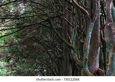 Perspective of a row of trees with intertwining branches.
