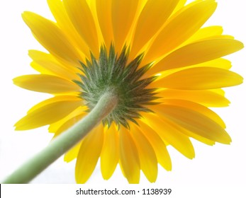 Perspective shot of back of yellow gerbera on white background