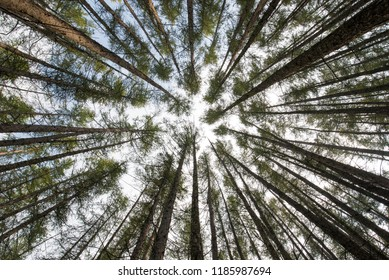 Perspective view of a tall pines forest converging to the sky
