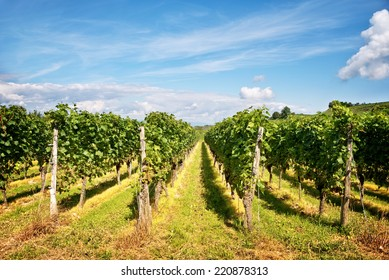 Perspective of vine stocks in a vineyard