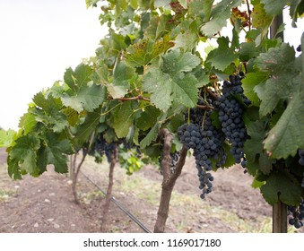 Perspective in vineyard located on the outskirts of Mexico City, with clusters of grapes loaded for the production of red wine, the climate in this area is favorable for production