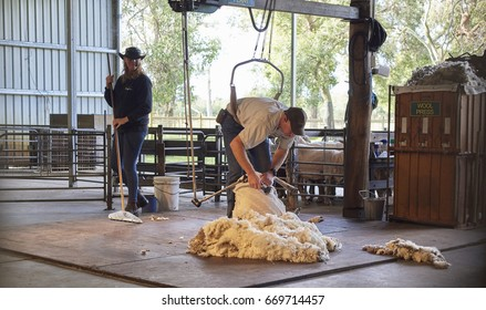 Perth, Australia - May 2017: Sheep shearing is the process by which the woollen fleece of a sheep is cut off. The person who removes the sheep's wool is called a shearer.
