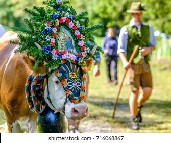 PERTISAU, AUSTRIA - SEPTEMBER 15: adorned cow at the annual Almabtrieb on September 15, 2017 in Pertisau