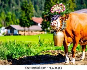 PERTISAU, AUSTRIA - SEPTEMBER 15: adorned cow at the annual Almabtrieb on September 15, 2017 in Pertisau