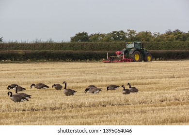 Perton,Staffordshire/UK - 08 30 2019: a tractor harrowing in a field while Canada Geese graze amongst the stubble of a previous crop