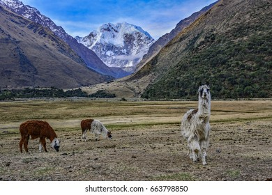 peru alpacas grazing salkantay mountain