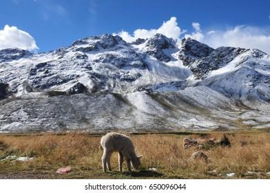 Peru. Mountain pass. Alpaca on the background of mountains