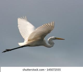 Peruvian Egret in flight over the Amazon River