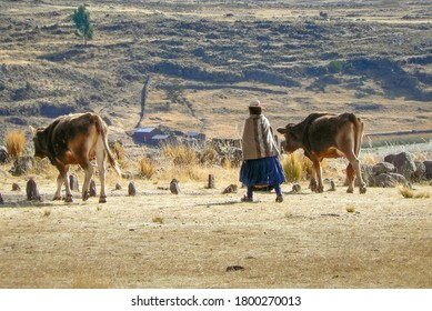 Peruvian farming woman walking with cows, rural countryside, Peru, South America