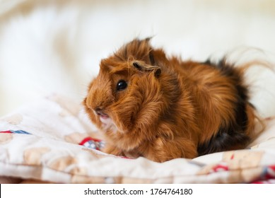 Peruvian guinea pig breed on a light background. Domestic rodent looking at the camera. A male Peruvian guinea pig looks at a light blanket. Fluffy guinea pig of red color with black spots. Pet care.