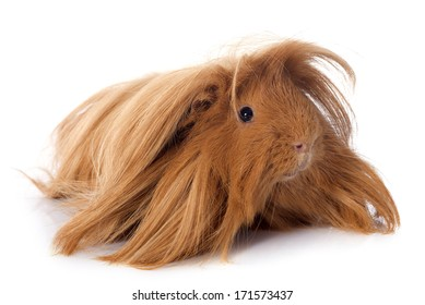 Peruvian Guinea Pig in front of white background