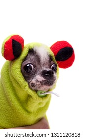 Peruvian hairless and chihuahua mix dog in frog costume