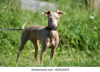Peruvian Hairless Dog (Peruvian Inca Orchid, the Inca Hairless Dog).
