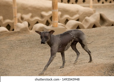 Peruvian hairless dog runs in the ruins of the city of Chan Chan (pre-Inca culture of Chimu), near Trujillo, Peru.