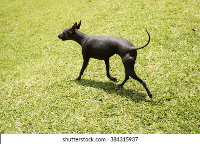 Peruvian hairless dog or Viringo