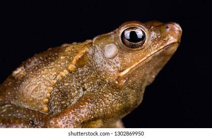 Peruvian helmeted toad (Rhinella roqueana)