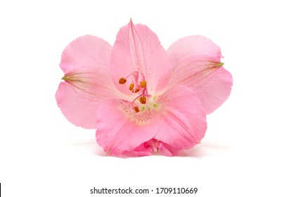 Peruvian Lily (Alstroemeria) flower on white background. Pink color.