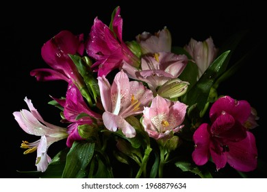 Peruvian Lily or Lily of the Incas (Alstroemeria). Blooming purple Peruvian Lily flower. Purple Alstroemeria bouquet on a dark background, close-up.