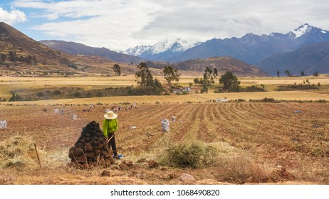 Peruvian local country woman working the land in a field in Cusco, Perú. Surrounded by high mountains, farmers gather these piles of dirt to cover and dry harvested potatoes