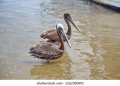 Peruvian pelican (Pelecanus thagus) and Brown pelican (Pelecanus occidentalis) standing in shallow water by the fish market in Puerto Lopez, Ecuador
