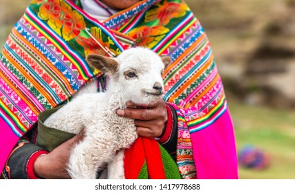 The Peruvian women in colorful traditional clothes holding cute white curly alpaca lamb
