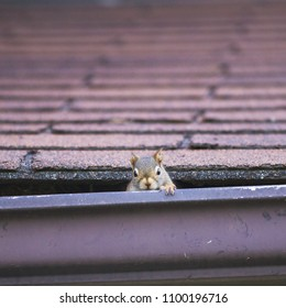 Pesky red squirrel making nest in roof; red squirrel peaking out of nest behind evestrough
