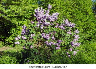 Pesse, the Netherlands- May 8, 2018: butterfly bush on the cemetery of Pesse