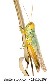 pest insect grasshopper isolated on white