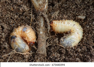 Pests control, insect, agriculture. Larva of chafer eats plant root.