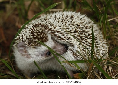 Pet African Pygmy Hedgehog anointing himself with froth and foam from his mouth in the grass in Thailand South East Asia