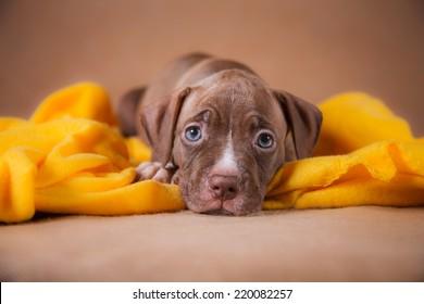 Pet American Pit Bull Terrier puppy cute