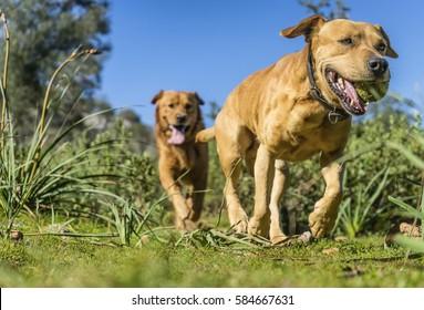 pet animals, brown dog playing