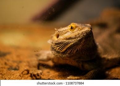 pet bearded dragon lizard in tank