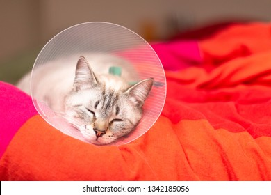 Pet care concept Sleepy cat wearing Elizabethan collar, E-collar or buster collar for protection the wound after surgical operation with copy space