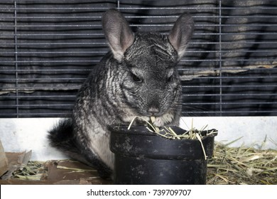 Pet Chinchilla in cage.
