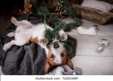 Pet Christmas. Dog playing with toys and lying. Jack Russell Terrier in holiday, resting