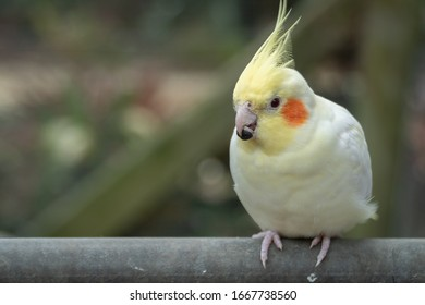 A Pet Cockatiel Sitting on a Fence with Seed in its Mouth, Close Up Selective Focus