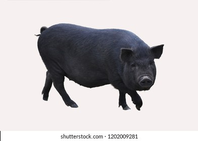 Pet. Cute black pig. Pig production. Isolated on white