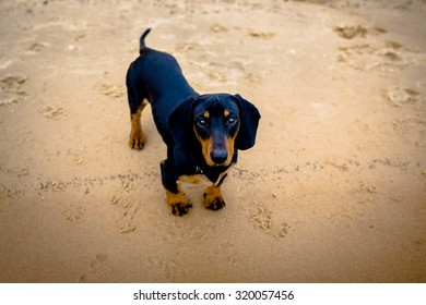 Pet Dachshund Standing on beach Looking Up