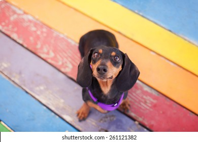 Pet Dachshund Standing on Rainbow Table Looking Up