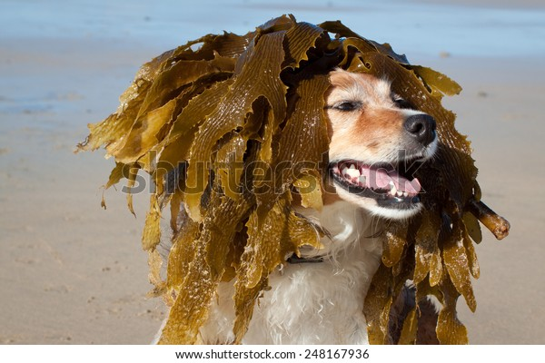 pet dog dressed up in seaweed wig by child at beach