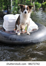 A Pet Dog Ferried to Safety on a Flooded Section of Road in Bangkok During the November 2011 Floods