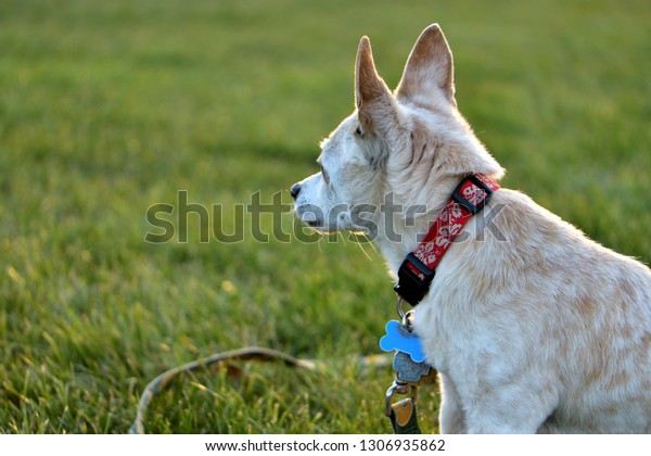 pet dog in a field, gazing in the distance
