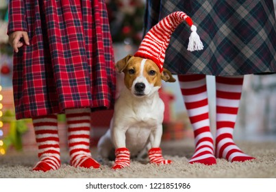 Pet dog Jack Russell Terrier and legs woman and  little girl in red white striped socks celebrating Christmas at home by the New Year tree
