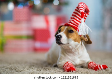 Pet dog Jack Russell Terrier celebrates Christmas under the Christmas tree in striped red white socks